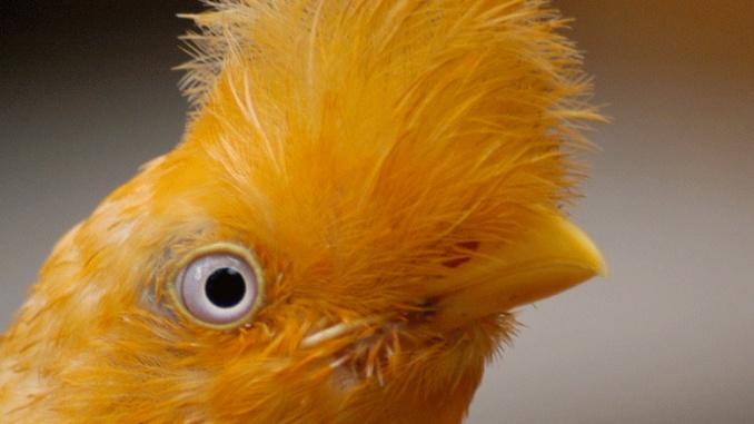 Andenklippenvogel Nationalvogel Peru