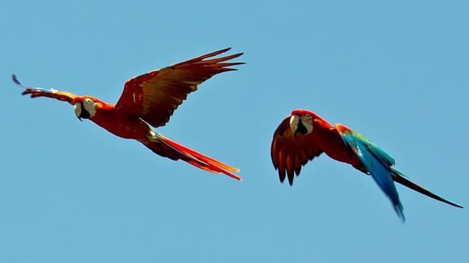 aras Papageien Vögel birds