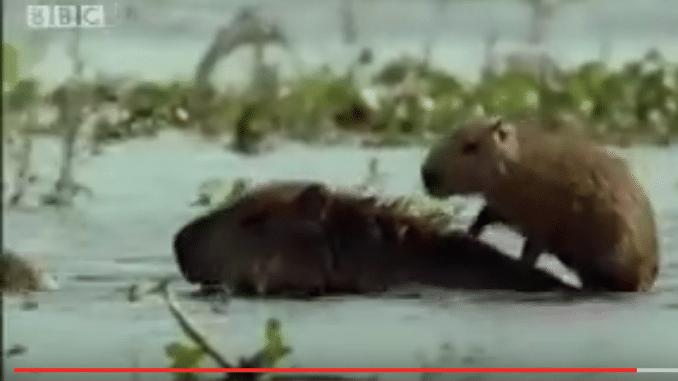Junges Capybara auf dem Rücken des Elterntiers