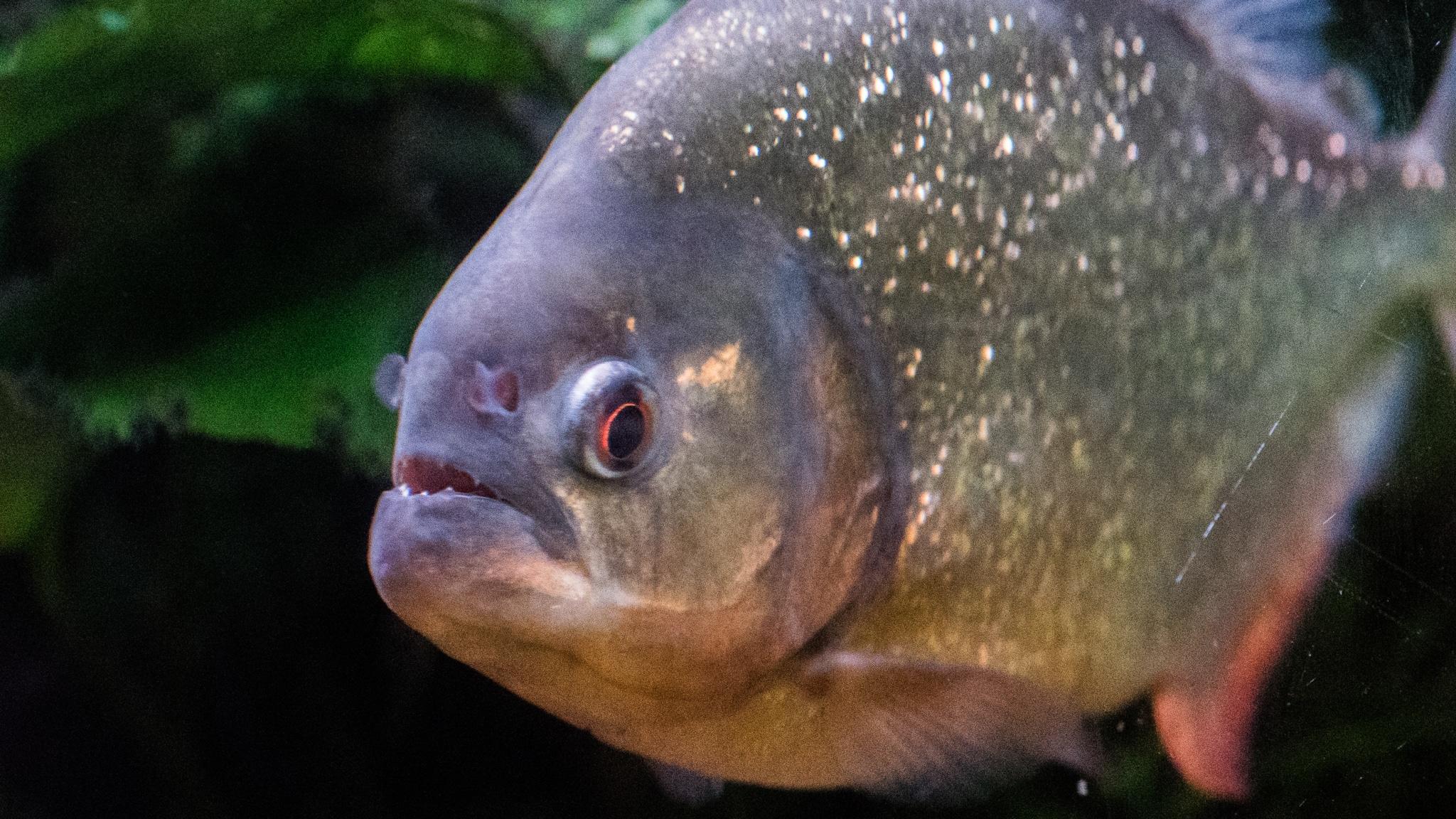 Piranhas leben im Amazonas