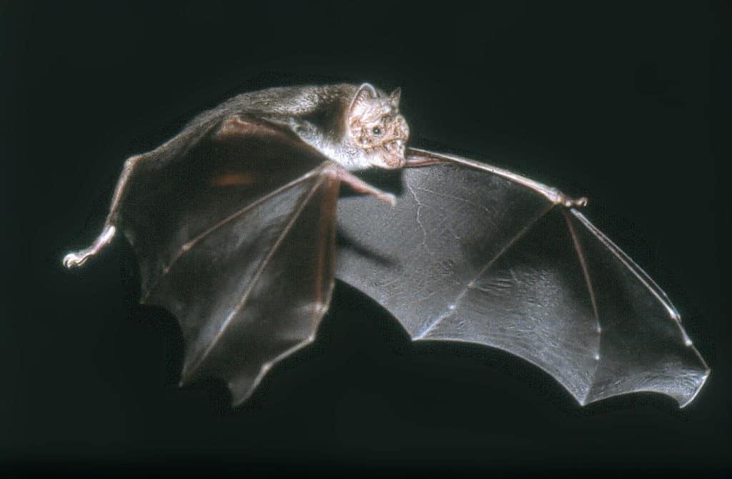 Vampirfledermaus im Flug