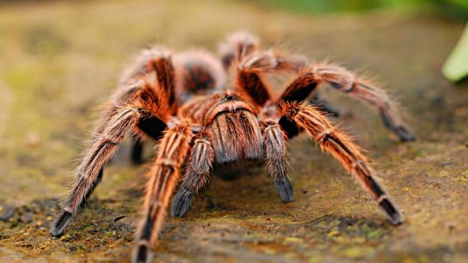 Giftige Spinne Tarantula