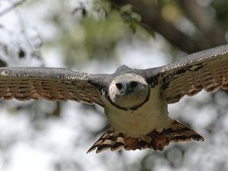Harpyienadler im Flug