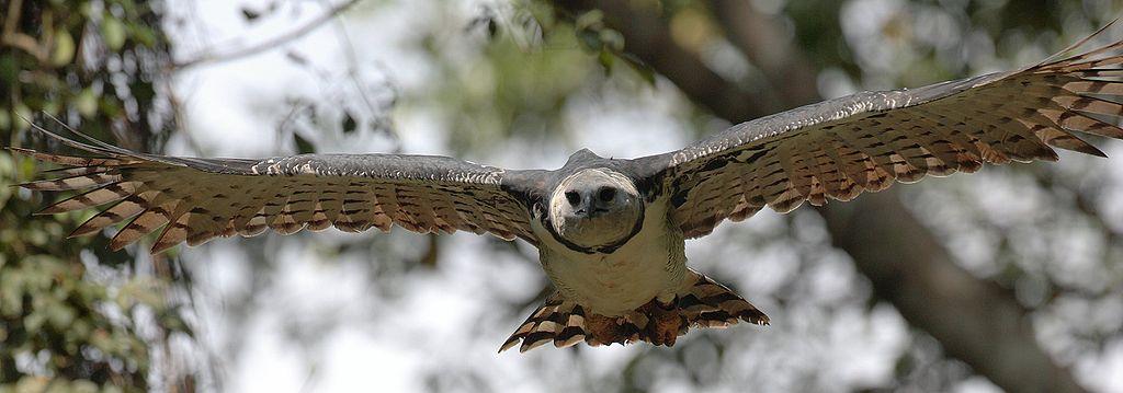 Harpyie, der größte Vogel