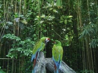 Zwei Aras in Brasilien im Regenwald