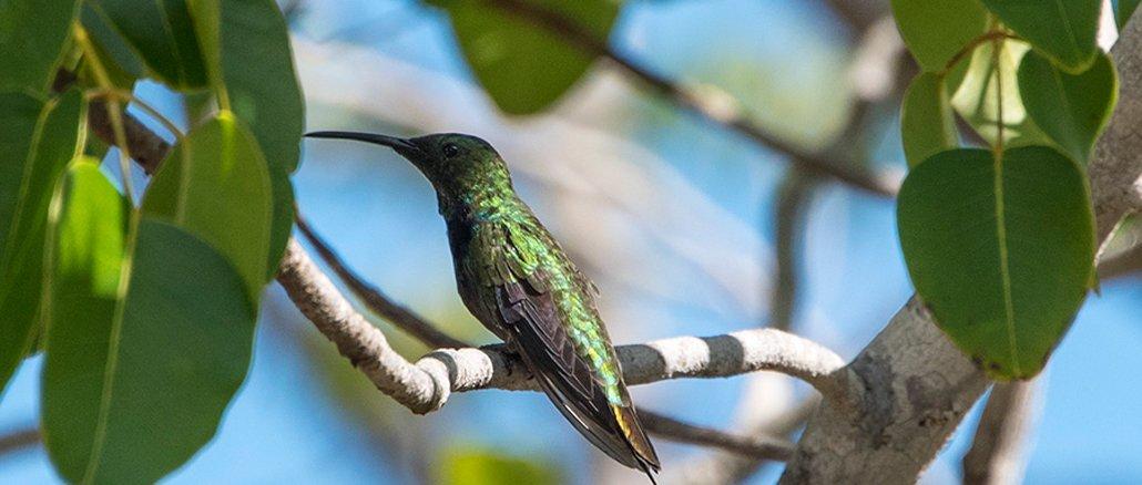 Kolibri: der intelligente Flugkünstler