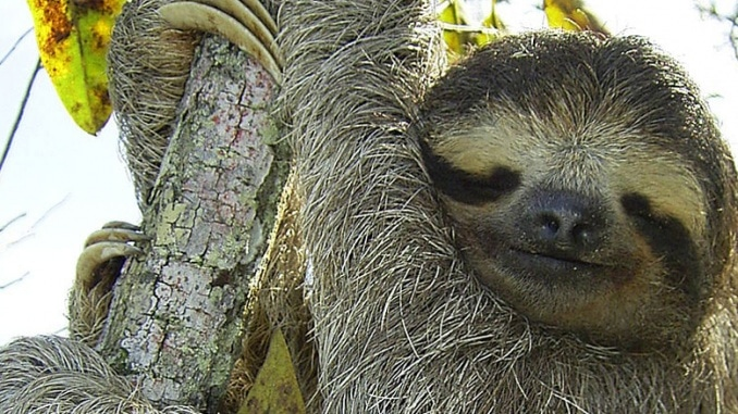 Schimpfwort Faultier Sloth amazonas