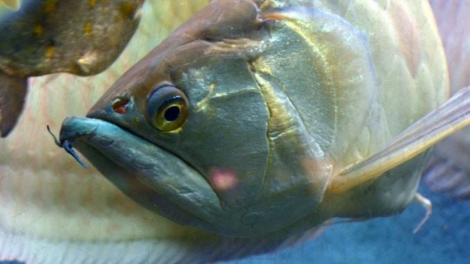 Arowana Amazonas Fisch Hochspringer