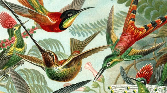 Kolibri Balz - Kolibri Zeichnung
