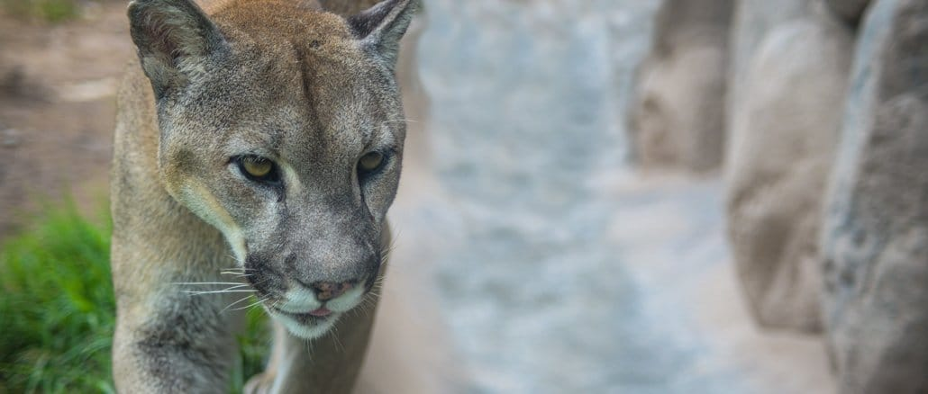 Der Puma hält Rekord im Hochsprung