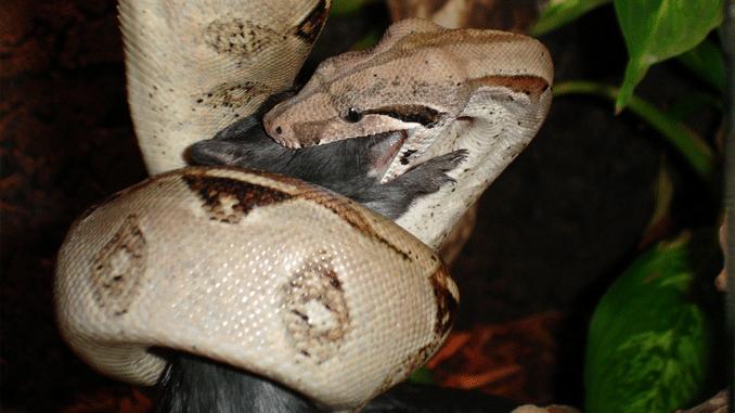 Boa Constrictor, Abgottschlange oder Königsboa genannt
