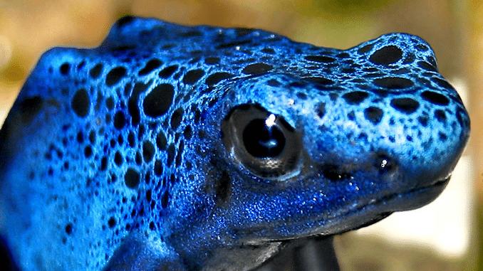Pfeilgiftfrösche - Blauer Pfeilgiftfrosch