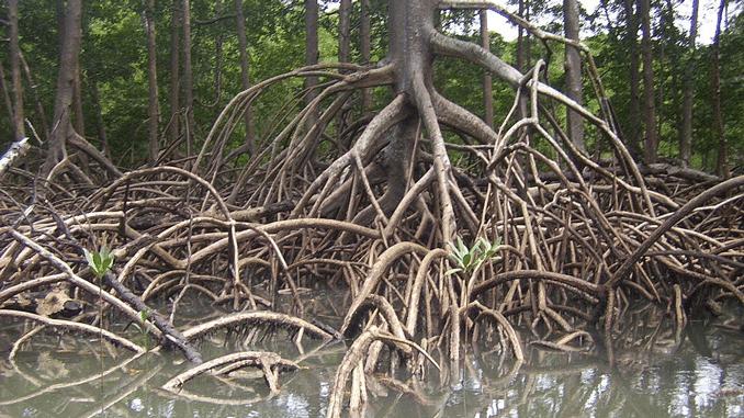 Mangroven – kostbarer Sumpf