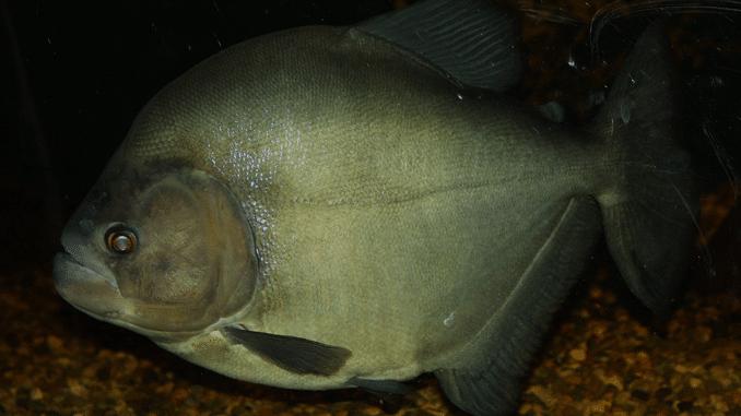 Gefährlichste Piranhas Schwarzer Piranha