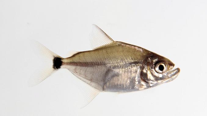 Gefährlichste Piranhas: Wimpelpiranha Cataprion mento 1819