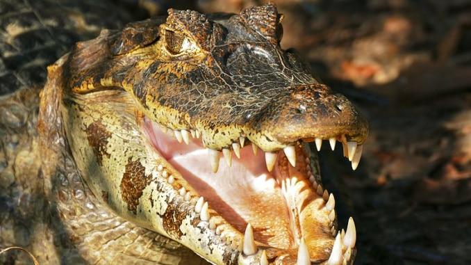 Krokodile Kaiman