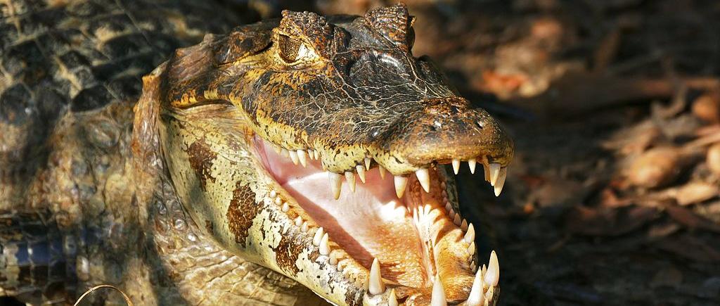 Krokodil Paarung