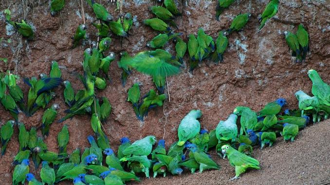 Papageien Südamerika