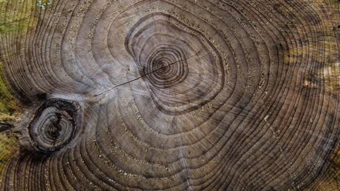 Abholzung der Urwaldbäume