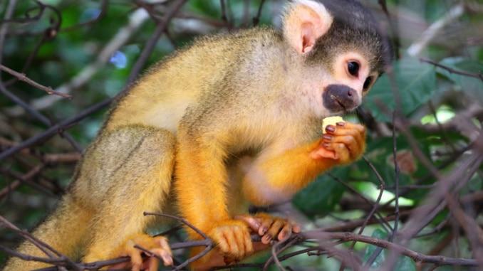 Affe Artenvielfalt