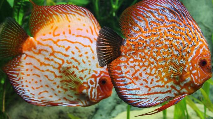 Dschungeltiere im Fluss Diskus fisch