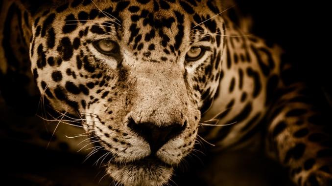 Jaguar der Einzelgänger