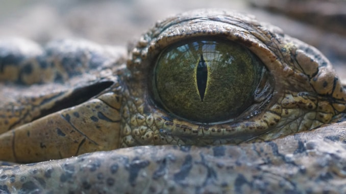 Krokodil gefährliche Tiere
