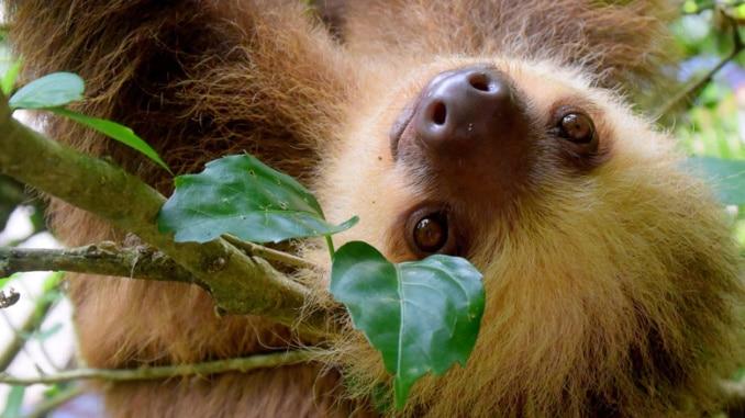 Faultier Sloth Amazonas