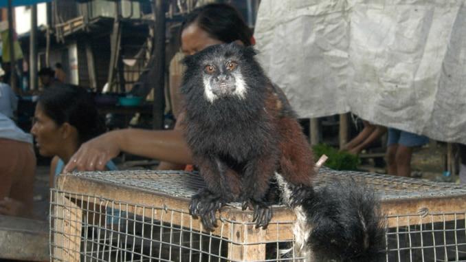 Tierhandel auf Marktplatz Iquitos Peru
