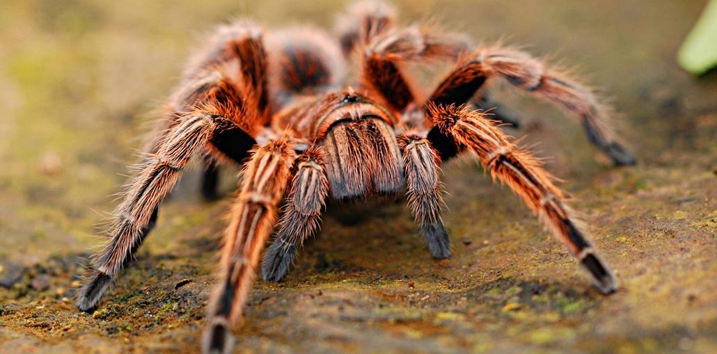 Tarantular die größten Tiere