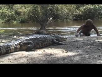 Hautnah mit Krokodil am Amazonas