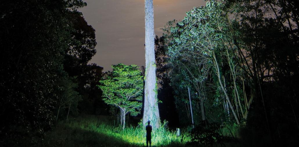 Brennpunkt Amazonas: Riesiger Regenwaldbaum mit Mensch